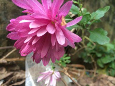 翠菊摄影图