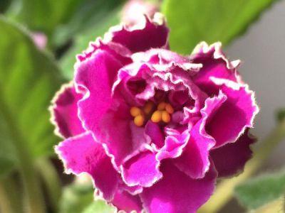 非洲紫罗兰摄影图