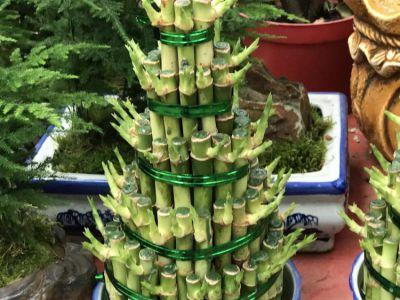 富贵竹摄影图