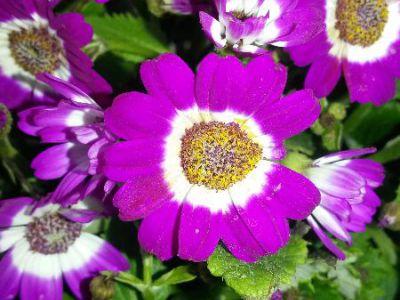 瓜叶菊摄影图