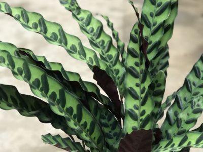 箭羽竹芋摄影图