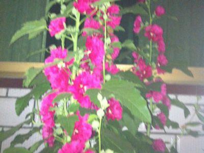 蜀葵摄影图