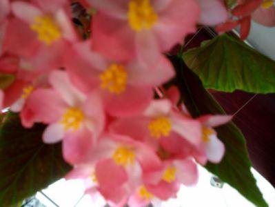 四季海棠摄影图