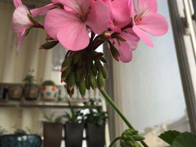 天竺葵摄影图