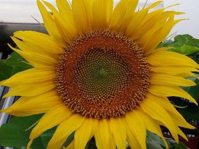 向日葵摄影图
