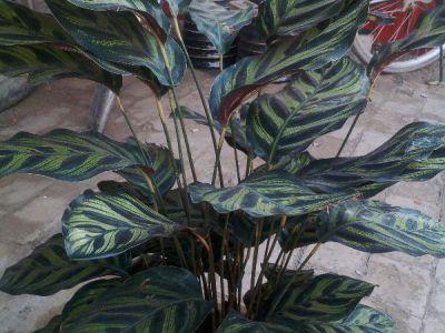 竹芋摄影图