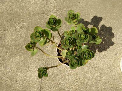 山地玫瑰摄影图