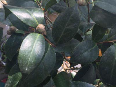 茶花摄影图