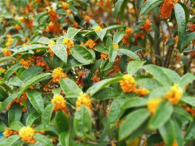 桂花摄影图