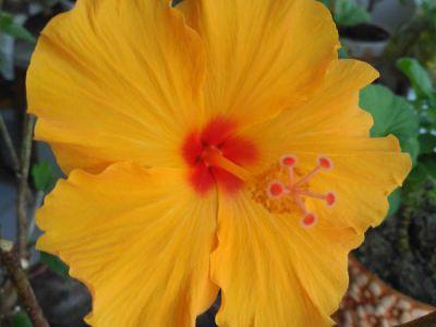 木槿摄影图