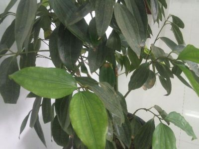 平安树摄影图
