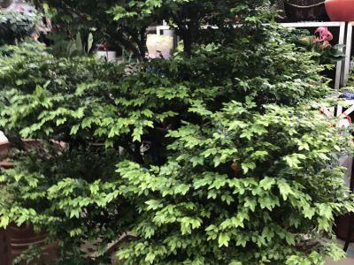 榕树摄影图