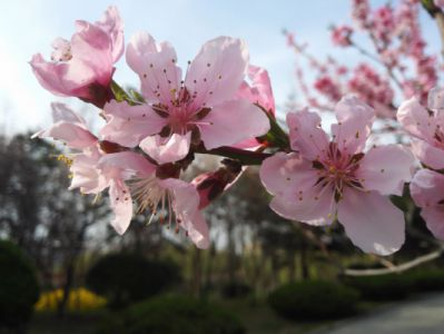 桃花摄影图