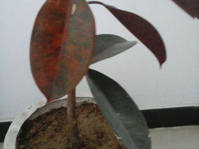橡皮树摄影图