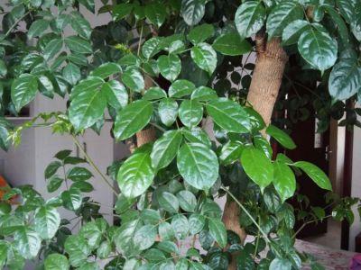 幸福树摄影图