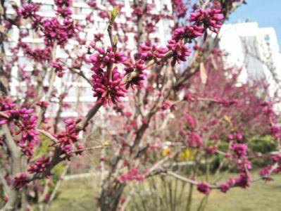 紫荆摄影图