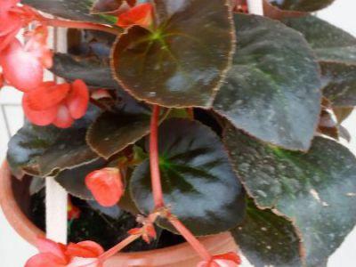 球根海棠摄影图