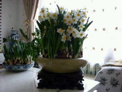 水仙花摄影图