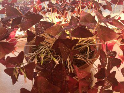 紫叶酢浆草摄影图