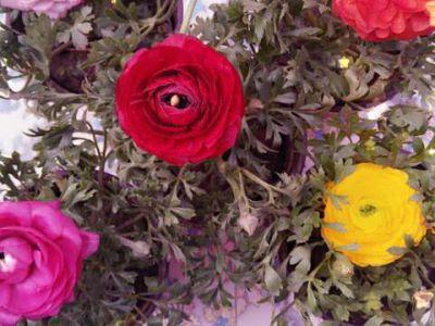 芹叶牡丹摄影图