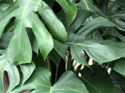 龟背竹摄影图