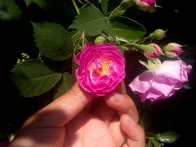 蔷薇摄影图