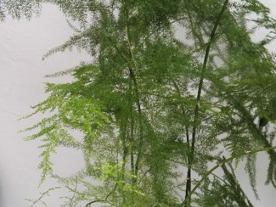 文竹摄影图